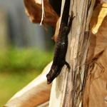 Phelsuma cepediana, Männchen beim Aufwärmen