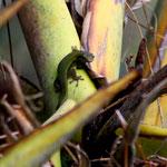 Phelsuma cepediana, Weibchen an einer Ravenala im Biotop, Foto M. Bartels