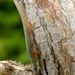 Phelsuma robertmertensi, Männchen