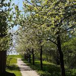 Eine wunderschöne Kirschenallee geleitet einem zum Ausgang