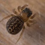 Weibchen, Gutau, 28.6.2014