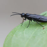 Pflanzenwespe, Familie Tenthredinidae, Gutau, 27.8.2013