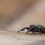 Weibchen, Tragwein, 5.5.2014