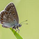 Hauhechelbläuling (Polyommatus icarus), Gutau, 16.6.2013