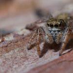 Dendryphantes hastatus, Gutau, 25.2.2014