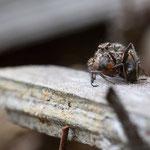 Weibchen mit Ameisenbeute, Gutau, 16.5.2013