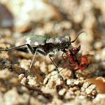 Bergsandlaufkäfer mit Ameisenbeute, Gutau, 2012