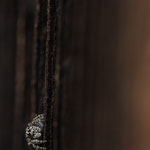 Weibchen, altes Holztor,Gutau, Anfang Mai 2013