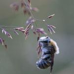 Gr. Harzbiene, Gutau, Juli 2013