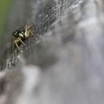 Weibchen, Gutau, Holzbalken (Hochstand) auf Böschung, 6.5.2013