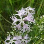 Pracht-Nelke (Dianthus superba)