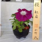 花径20cm以上の金賞受賞(紅扇)