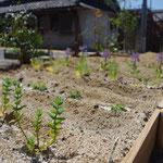 庭のハーブ畑