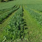 Ackerbohnen in 40 Meter langen Reihen zur Saatzucht
