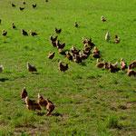 Viel Freilauf für die Hennen rund um den Stall