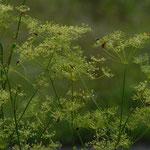 Blühender echter Haarstrang mit viel Insektenbesuch (gefährdet)