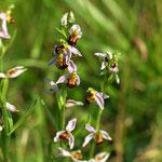 Bienenragwurz (stark gefährdet), eine Orchidee