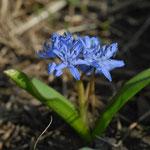 zweiblättriger Blaustern (besonders geschützt)