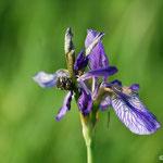 Sibirische Schwertlilie (stark gefährdet) nicht zu verwechseln mit Sumpfwiesen-Schwertlilie (Iris spuria), die vom Aussterben bedroht ist