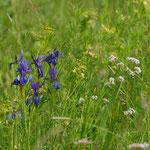 und nochmal Iris sibirica, weil sie so schön ist.