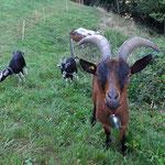 Vorwitzige Ziege in Kleindietwil