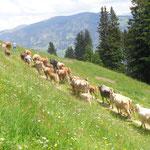 Züglete auf die Alp