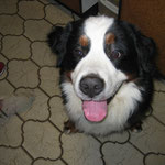 Winni Two - Worlds best Berner Sennenhund!