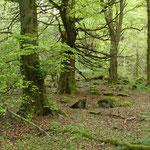 """Buchen-""""Urwald"""" bei Gusternhain, Foto: E. Klein"""