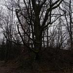 Alter Kirschbaum an der Braunkohlenhalde (Foto: E. Klein)
