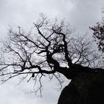 """Baum im Steinbruch """"Stenzelberg"""", Siebengebirge, Foto: E.Klein"""