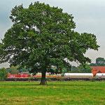 Eine Münsterländer Eiche, dahinter die WLE und ein alter Hof