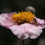 Moschusblüte