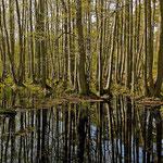 Erlenbruch im Darsser-Wald