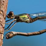 eine Studie des Legestachels, mit welchem das Weibchen winzige Löcher in den Weiden- oder Erlenzweig bohrt