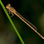 ein sehr junges Weibchen der Gemeinen Winterlibelle