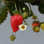 Erdbeere im Herbst