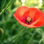 Coquelicot en Provence au pied de la sainte victoire - Aix en provence