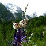 Himmelblauer Bläuling (Polygommatus bellargus) auf Teufelskralle