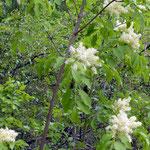 Manna- oder Blumenesche - Fraxinus ornus
