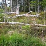 Totholz im Bannwald