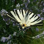 Segelfalter (Iphiclides podalirius) auf Lavendelblüten