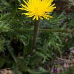 Ferkelkraut (Hypochaeris uniflora)
