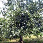 Ontario-Apfelbaum