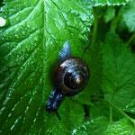 Gefleckte Schnirkelschnecke (Arianta arbustorum)