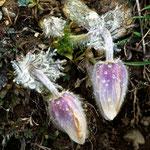 Frühlingsanemone - Pulsatilla vernalis