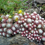 Spinnwebhauswurz - Sempervivum arachnoideum