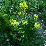 Barbenkraut (Barbarea vulgaris)