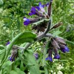 Italienische Ochsenzunge (Anchusa italica)