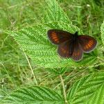 Borstengras-Mohrenfalter (Erebia epiphron)