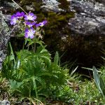 Waldstorchschnabel (Geranium sylvaticum)